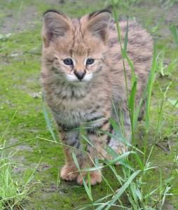 Kit Serval