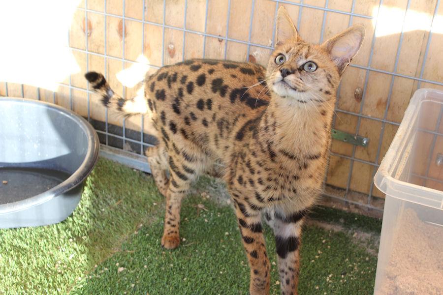 Savannah Kat F1 Prinses 2