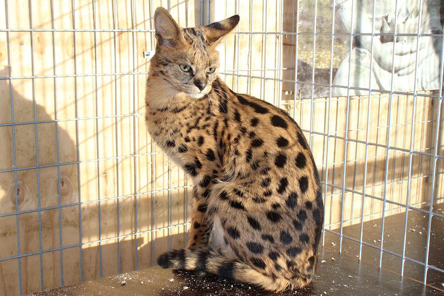 Savannah Kat F1 Prinses 3