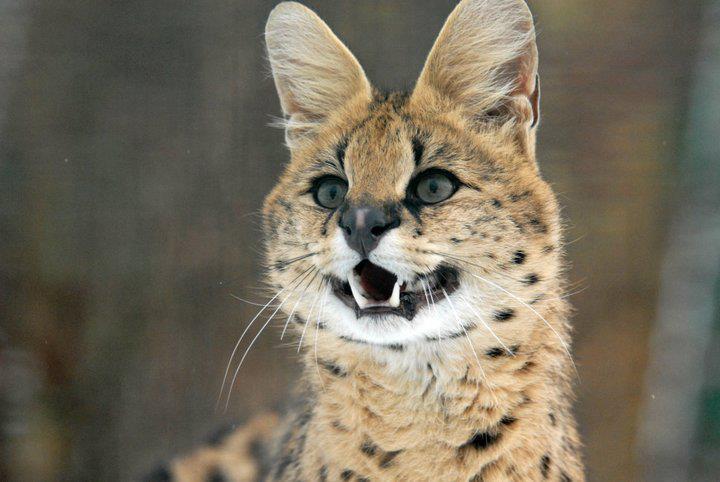 ... fokker van savannah katten nederland fokker van prachtige savannah