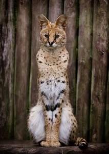 volwassen wilde serval