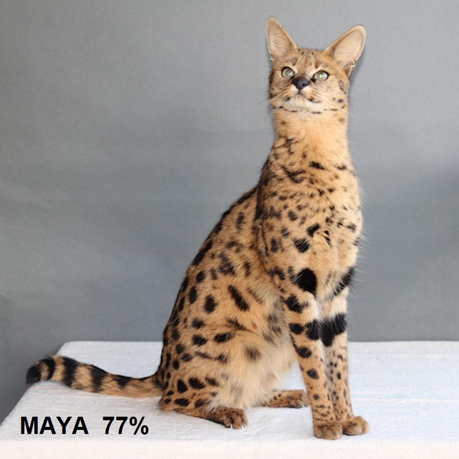 Savannah Kat Maya