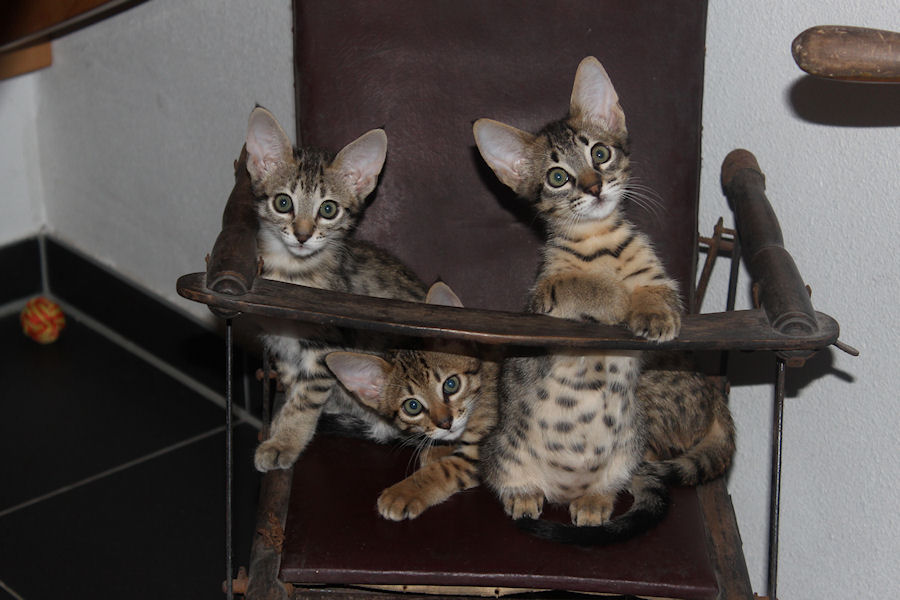 Savannah Kittens in stoel