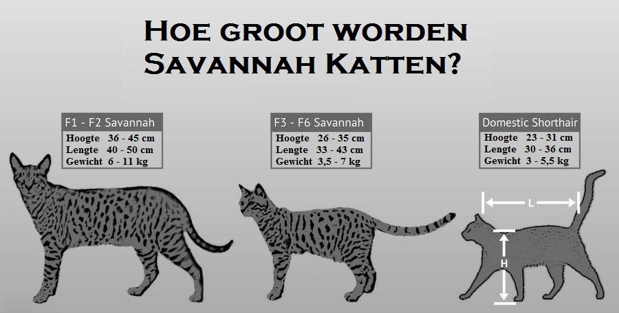 Savannah Kat Grootte
